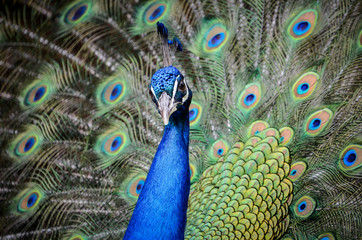 Portrait of a peacock with feathers spread open.