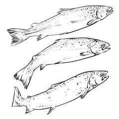 Salmon isolated on a white background, Vector Atlantic Salmon Clip art