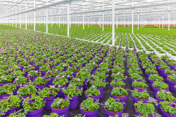 Rows of purple blooming violas in pots