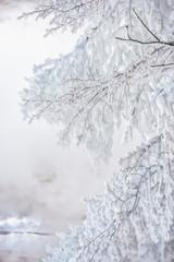 White frozen branches