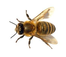 detail of bee or honeybee , Apis Mellifera