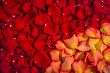 Background of red roses and grandiflora roses. A lot of rose petals. postcards, Wallpaper, anniversaries, birthdays, Valentines day, wedding. For design.