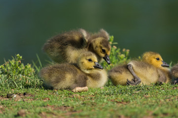 Fuzzy baby geese.  Adorable nature.