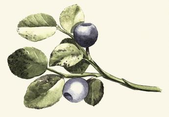 Blueberry Digital engraving vintage botanical