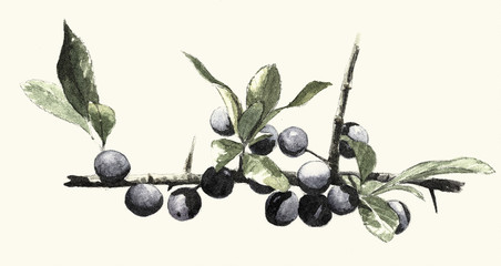 Blackthorn, Digital engraving vintage botanical
