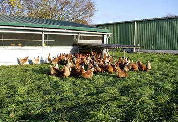 Freilandhühner beim Fressen auf einer grünen Wiese in Schleswig-Holstein, Deutschland, Gallus gallus domesticus