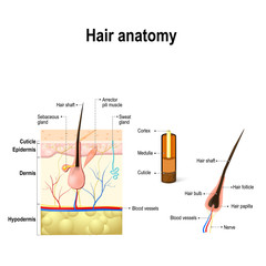 Diagram of a hair follicle in a cross section of skin layers