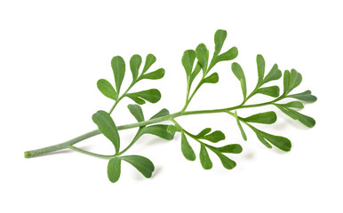 Common rue isolated