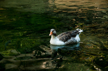 gray domestic goose in a pond