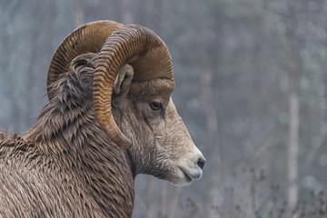 A male bighorn ram in winter