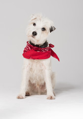 A white parsons russell terrier, isolated on a white seamless wall in a photo studio.