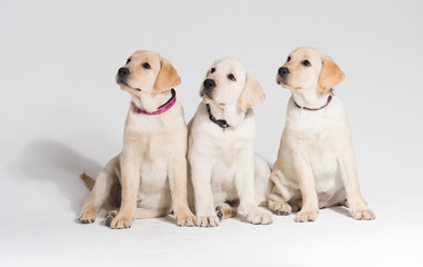Beautiful puppy labrador retrievers against a white background