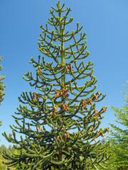 Mnkey puzzle tree (Araucaria araucana)