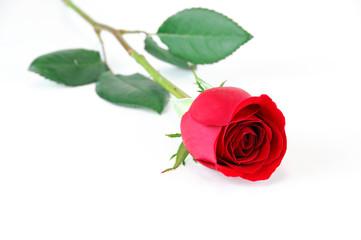 single rose laying on white background