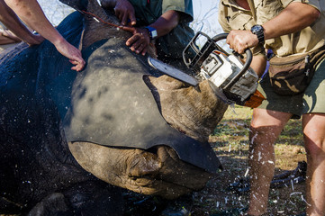 Dehorning of a white rhino using a chainsaw