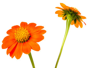 Foto op Canvas Gerbera Bright blooming daisy closeup shot on white isolated.