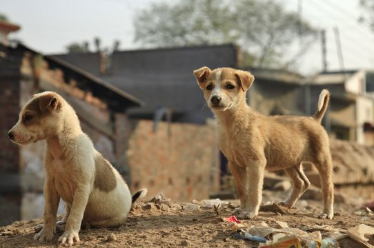 Two puppies in India
