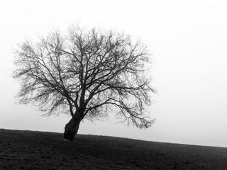 A black tree / Un arbre noir dans un brouillard en hiver. // A black tree in a fog in winter.