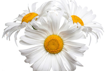 Floral wallpaper. Camomiles, beautiful  white daisy flowers.