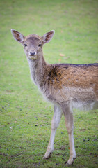 Deer closeup