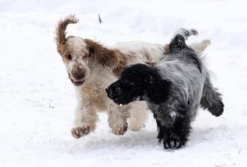 English Cocker takes pleasure in freshly fallen snow