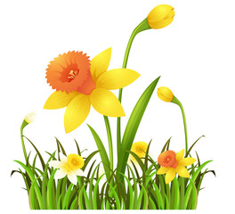 Yellow daffodil flowers in the bush