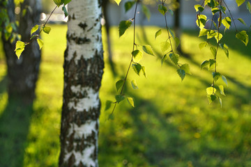 Fototapete - Trunk tree, young birch branches in sun and juicy green leaves in the sunlight spring morning summer outdoors close-up. Beautiful blurred bokeh on background grass on the lawn.