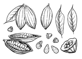 Cocoa beans vector isolated on white background