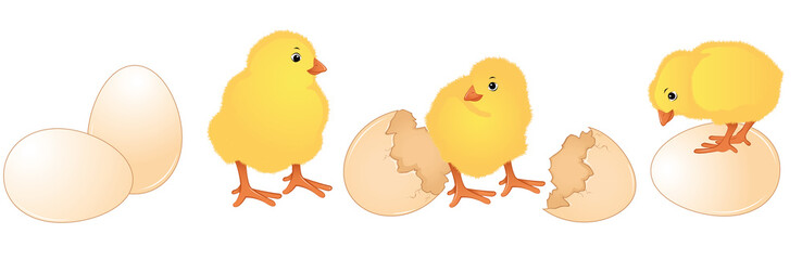 Hatched chicks from brown eggs