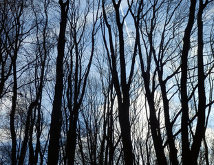 winter forest with naked trees silhouettes and blue sky
