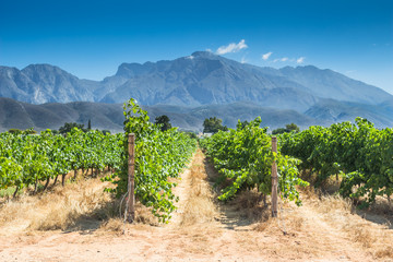 Grape vines on a hot summer day in Western Cape, South Africa