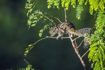 Indian palm squirrel in Ella, Uva province, Sri Lanka