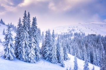 Amazing snowy and frosty winter sunset over a ski resort with white dressed christmas or fir trees, Carpathian mountains