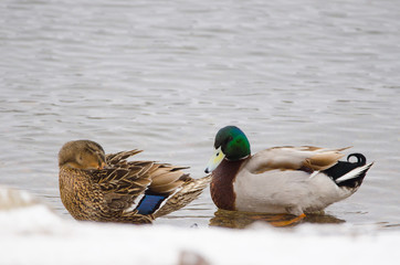 Male and female mallard in the snow