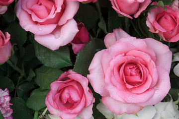 fresh beautiful pink rose and fragrance with drop of water for l