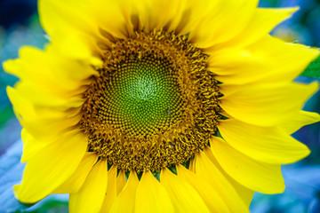 Sunflowers at Hanoi, Vietnam