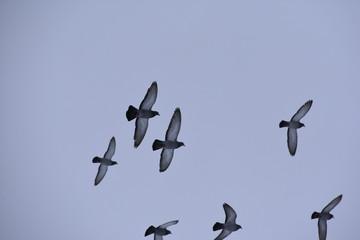 Tauben im Flug (Columba livia)