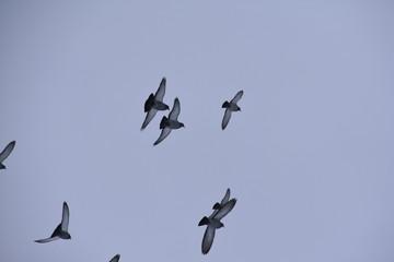 Haustauben im Flug (Columba livia)