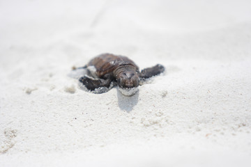 Baby green turtle making its way to the ocean
