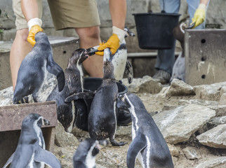 Man feeds penguins fresh fish summer day