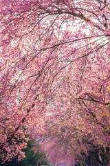 Wild Himalayan Cherry flower (Prunus cerasoides) in thailand