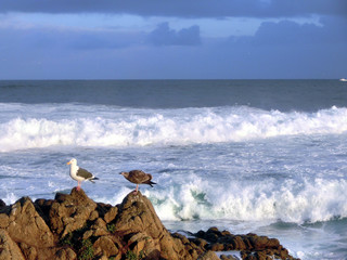 Majestic seagull perched on rock in front of ocean waves