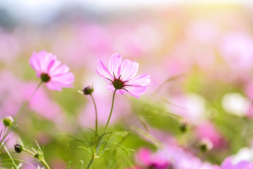 Spoed Foto op Canvas Roze Cosmos flowers with selective focus and sunlight day