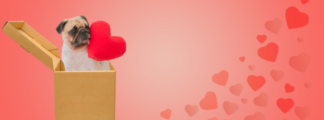 Happy valentine's day. Cute pug dog in cardboard box hold the heart with pink background