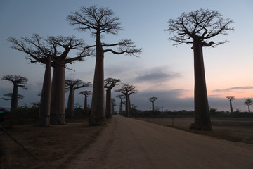 The Avenue of the Baobabs, Madagascar.