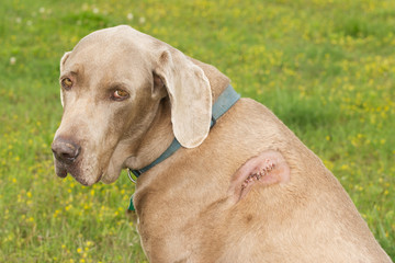 Weimaraner dog with a cut with stiches on his shoulder
