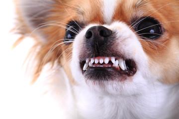 dangerous chihuahua face