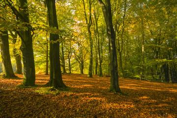 Beech woodland in autumn.