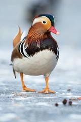Beautiful mandarin duck on the frozen lake in a park