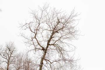 The crown of a tree without leaves against a white sky
